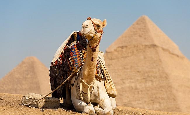 Верблюд возле пирамид