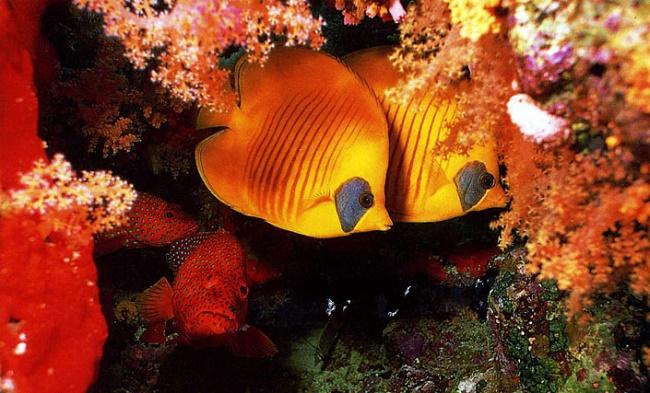 Рыбки в кораллах