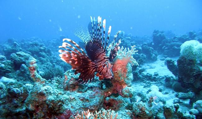 Рыба-зебра